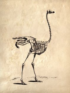 18x24 Vintage Science Animal Study Ostrich by curiousprints, $30.00