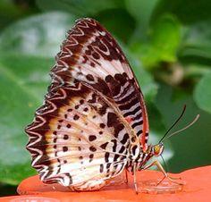 IMGP9572 - Cethosia cyane 蝴蝶 나비 Mariposas farfalle チョウ Бабочки