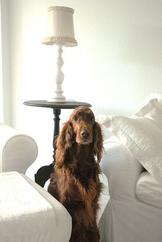 I do love an Irish Setter.  Doesn't he look good in this white room?