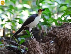 https://www.facebook.com/WonderBirdSpecies/ White-necked rockfowl (Picathartes gymnocephalus); West Africa from Guinea to Ghana; IUCN Red List of Threatened Species 3.1 : Vulnerable (VU)(Loài sắp nguy cấp) || Chim hói đầu cổ trắng; Tây Phi từ Guinea đến Ghana; HỌ CHIM HÓI ĐẦU-PICATHARTIDAE (Picathartes, Rockfowl or Bald crows).