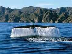 Cabo whale watch tours are popular tourist activities - there are 14 species of whales that visit the Sea of Cortez. Cabo is the mid-point between the Pacific Ocean and the Sea of Cortez. Ask Alex Mex. has Free and discounted Whale Watch tours.