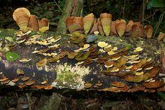 Shelf Fungus by Polylepis, via Flickr