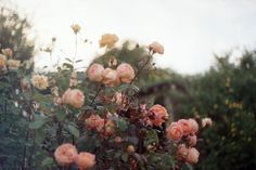 roses are happiness