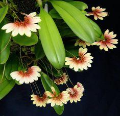 Orquídea Bulbophyllum flabellum-veneris