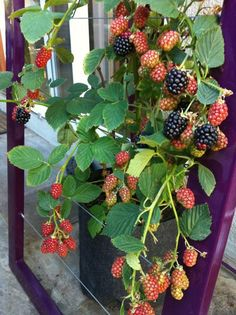 I moved my raspberries to containers this year. This is what I need to support them. Mira Garden Trellis from TerraSculpture. Even the color is fun!