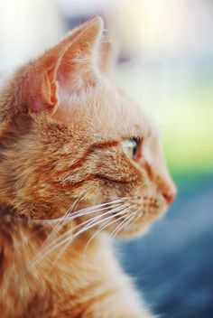 Tabby Cat i do love an orange tabby - Par excellence. Orange Tabby Cats, Red Cat, Kittens Cutest, Cats And Kittens, Kitty Cats, Ragdoll Kittens, Funny Kittens, Bengal Cats, White Kittens