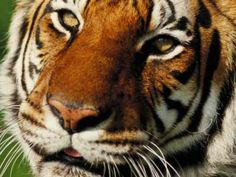 Tiger pictures and facts!  Fact: Tigers are an endangered species. Wild tigers in Asia -- their natural habitat -- may soon disappear.    Fact: Tigers keep their claws sharp for hunting by pulling in their retractable claws into a protective sheath.     Fact: Most tigers have more than 100 stripes, and no two tigers have identical stripes.