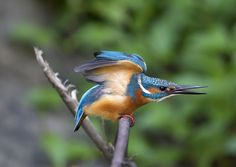 Common Kingfisher. by Richard McManus on 500px