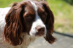 Prim my Springer