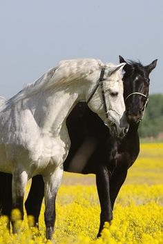 Black & White horse love: horses take such good care of each other. The herd instinct is so strong.