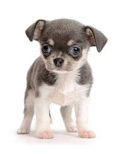 Big eyed Chihuahua puppy