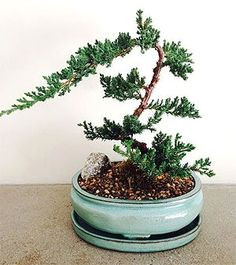 Container Gardening For Beginners 9 Great Ideas for Caring for a Bonsai Tree Buy Bonsai Tree, Bonsai Tree Types, Bonsai Tree Care, Indoor Bonsai Tree, Indoor Plants, Bonsai Trees, Bonsai Garden, Growing Seeds, Growing Tree