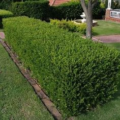 N: Buxus sempervirens C.N: Common Boxwood Zone: 5 This small hedge is the numb.N: Buxus sempe Evergreen Hedging Plants, Evergreen Hedge, Boxwood Hedge, Boxwood Landscaping, Backyard Landscaping, Landscaping Ideas, Garden Hedges, Garden Plants, Cerca Natural