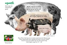 The Ultimate Visual Size Comaparison Guide to Micro, Mini & Tea Cup Pigs by Petpiggies Read the full story at our blog www.petpiggies.co.uk