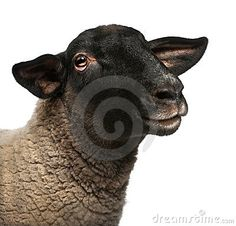Black Sheep Stock Photos, Images, & Pictures – (6,198 Images) - Page 22