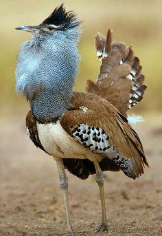 Avutarda kori (Ardeotis kori). Es bastante común en las sabanas del centro y sur de África.