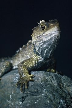 Tuatara male. Photo: Peter Morrison
