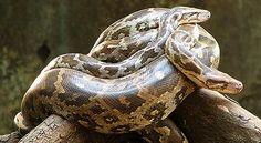 indian_python_2011