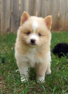 Past puppies Pomsky Puppies, Acacia, Past, Husky, Dogs, Animals, Animais, Animales, Animaux