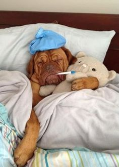The Dogue de Bordeaux, or the French Mastiff, loves being with people, especially children. They are very patient dogs who are always up for some fun. Cute Puppies, Cute Dogs, Dogs And Puppies, Mastiff Puppies, Doggies, Funny Dogs, Funny Animals, Cute Animals, Animals Dog