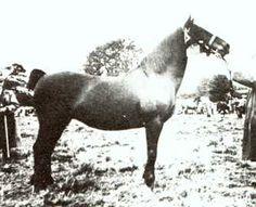North Forks Black Earl Welsh Cob; DEWI ROSINA, blk. M, 1934 by BLAENWAUN TRUE BRITON ex DEWI BLACK BESS