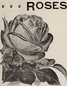 "Image from page 20 of ""[Catalogue of] Cottage Rose Garden"" (1895) 