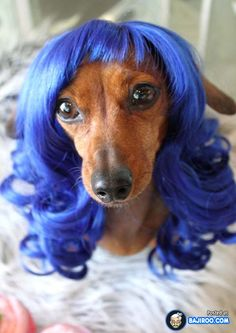 funny dog wearing a wig fun hairstyle dogs animal pics photo images pictures 14 Funny Images Fun Dogs Awesome Animals  funny animals