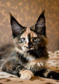 Calico Maine Coon