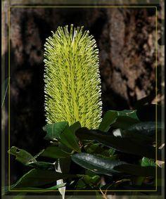 Banksia flower | da Tatters ✾