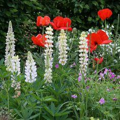 Frühsommerliches Beet mit weiß blühenden Lupinen, rotem Mohn und lilafarbenen Storchschnabel | Mein schönes Land bloggt