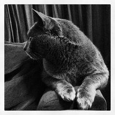 Gray Cat~ IMG_2889 by neginn, via Flickr