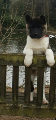 Akita look at the paws on this baby!