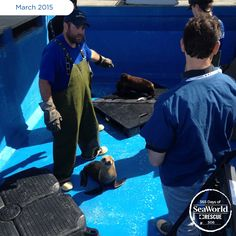 One of the lucky sea lions rescued in the #2015SeaLionCrisis looks up at a SeaWorld animal care expert. Must be mealtime! #365DaysOfRescue