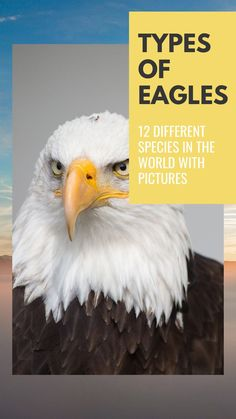 While there are several types of eagles globally, these kinds of them can be grouped based on specific similar characteristics and species. Here is one such classification. Different Types Of Eagles, Group Bases, Bald Eagle