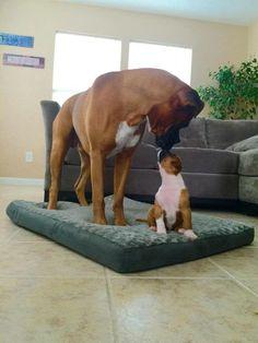 Parental love boxer antics