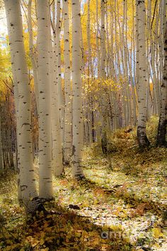 Aspen Trees Photograph - Invitation by The Forests Edge Photography - Diane Sandoval Aspen Leaf, Aspen Trees, Birch Trees, Flor Magnolia, Rustic Wall Art, Tree Photography, Tree Forest, Autumn Trees, Tree Art