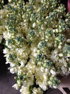 Cream Stocks called 'Carmen' Sold in bunches of 10 stems from the Flowermonger the wholesale floral home delivery service.
