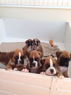 Boxer Puppies....reminds me of my experience waiting for our puppy to pick us yesterday!!  I COULD HAVE TAKEN THEM ALL!!!!!