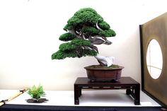 """Second prize in category """"Best of show"""". Juniperus chinensis, by Fabio Mantovani. #bonsai #crespi"""