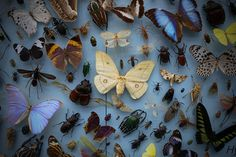 Bugs & Butterflies \ Pitt Rivers Museum