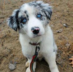Blue Merle Border Collie Puppy