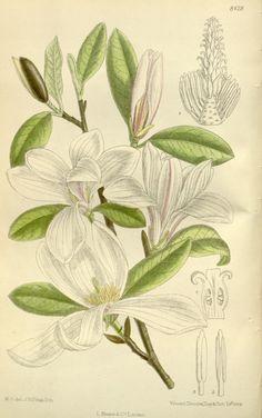 1912. Magnolia Kobus, Magnoliaceae From Curtis's Botanical Magazine, London…