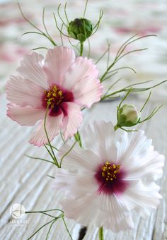 {Lovely pastel pink Cosmos by Hillary Rose}