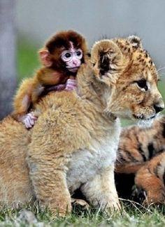 Baby monkey riding on baby lion.