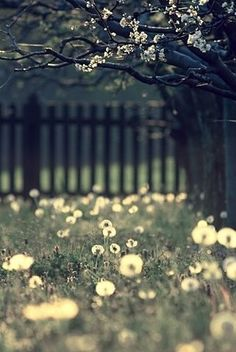 Field  [dandelion, Taraxacum officinale, Asteraceae]