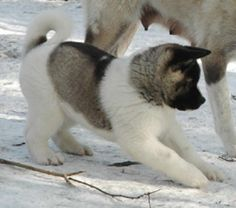 how cute is he? (akita puppy)