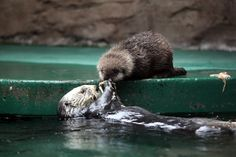 picture of baby sea otter   The new baby sea otter at the Seattle Aquarium   All Creatures Great ...