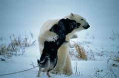 """Bears and dogs are natural enemies. But someone forgot to tell these two, who were caught by wildlife photographer Norbert Rosing near Churchill, Manitoba. Rosing was at a kennel where 40 Canadian Eskimo sled dogs were being kept when a polar bear showed up. The other dogs were barking furiously as the bear approached, but one, named Hudson, """"calmly stood his ground and began wagging his tail."""" Next the two animals were gently touching noses and apparently trying to make friends. The bear…"""