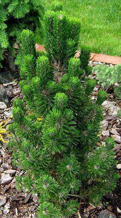 Kigi Nursery - Pinus thunbergiana ' Kotobuki ' Dwarf Japanese Black Pine, $25.00 (http://www.kiginursery.com/dwarf-miniatures/pinus-thunbergiana-kotobuki-dwarf-japanese-black-pine/)
