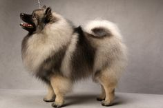 Mercy the Keeshond (Non-sporting). Mercy, registered as Shainakees Abundant Asset Is Mercy, is owned by Ruthann Seibert and Suzette Lefebvre. (Fred R. Conrad, a New York Times photographer, set up a studio at the 2013 Westminster Kennel Club dog show and invited Best of Breed winners to pose.)